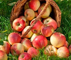 Jabučni ocat Mustač - jabuke